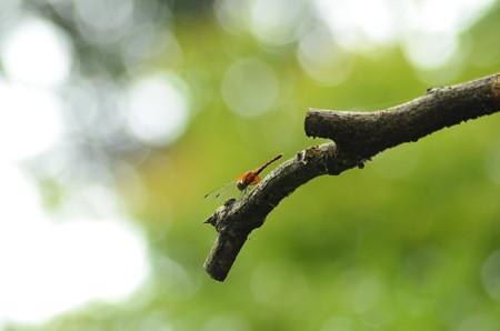根黄蜻蛉(ネキトンボ)