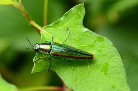 玉虫(タマムシ)