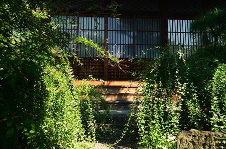 本堂前の萩