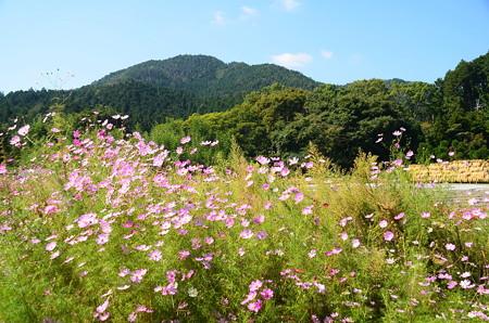 大原の秋桜(コスモス)