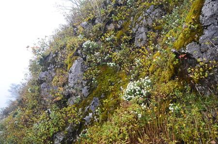 斜面に咲く龍脳菊(リュウノウギク)