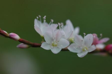 桜蓼(サクラタデ)