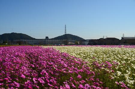 近江八幡野田町コスモス畑