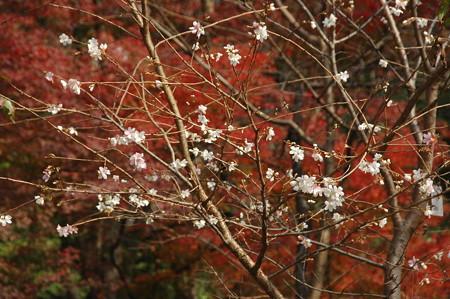 四季桜と紅葉