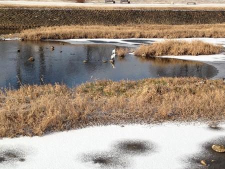 賀茂川にも氷が~