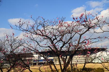 紅梅と京都水族館