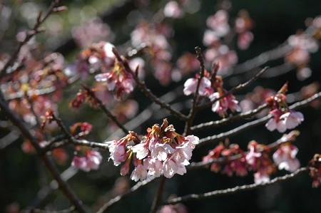 寒桜(カ  ンザクラ)