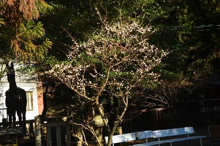 闘鶏神社の白梅