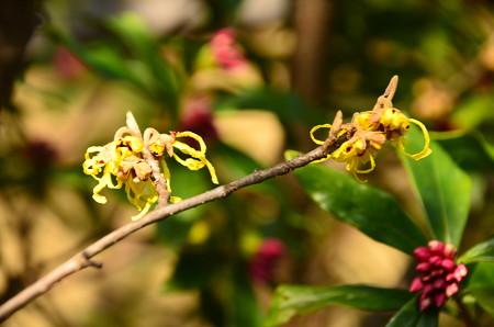 満作と沈丁花の蕾