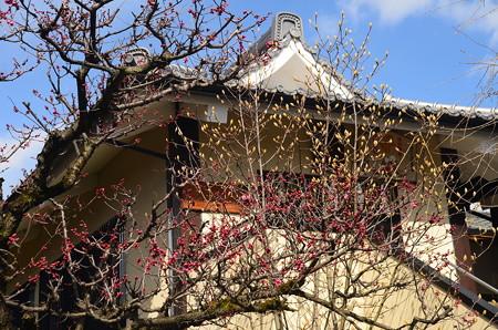 咲き始めた紅梅と木蓮の蕾
