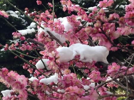 雪をかぶった紅梅