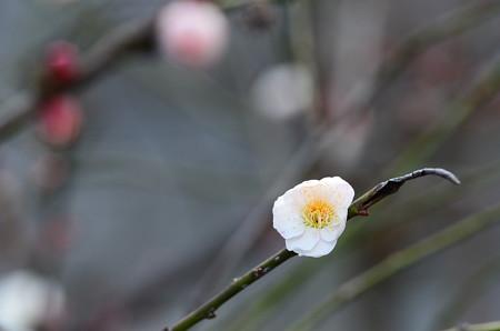 咲き始めの白梅