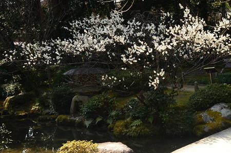 池脇の白梅