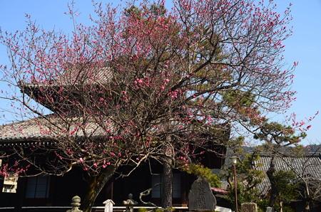 満願寺の紅梅