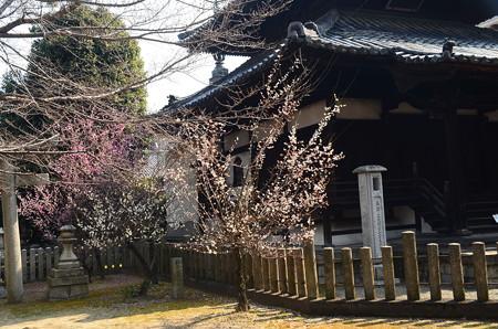 妙顕寺の梅