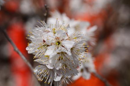 満開の桃桜(モモザクラ)
