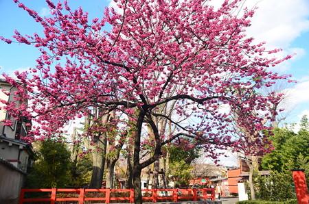 満開の寒緋桜(カンヒザクラ)