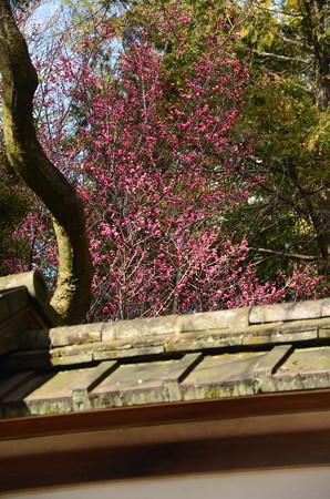 平野神社の紅梅