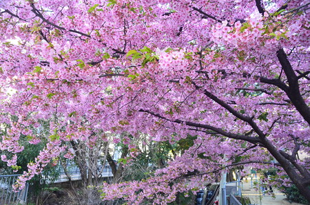 一条戻橋の河津桜