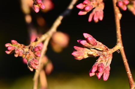 近衛邸跡の糸桜蕾
