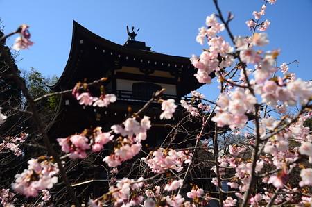 観音堂前の桜