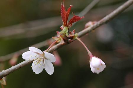 咲き始め  た山桜(ヤマザクラ)