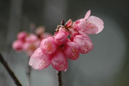 ヒマラヤ  緋桜(ヒマラヤヒザクラ)