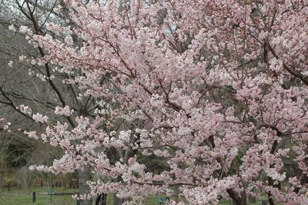 満開の細  井桜(ホソイザクラ)