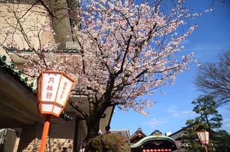 歌舞練場の山桜