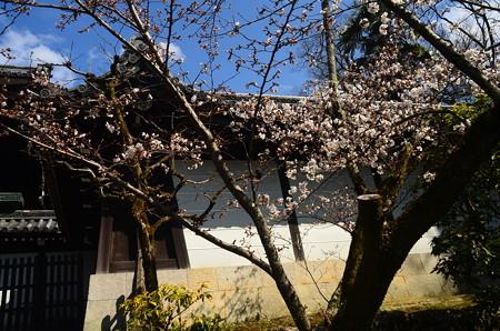 大谷別院の染井吉野