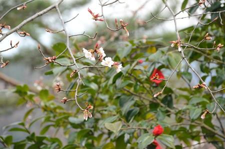 咲き始めの山桜と椿