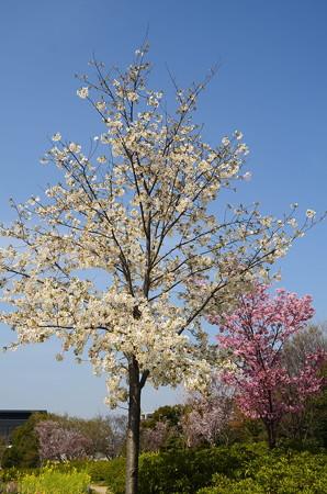 大島桜と陽光