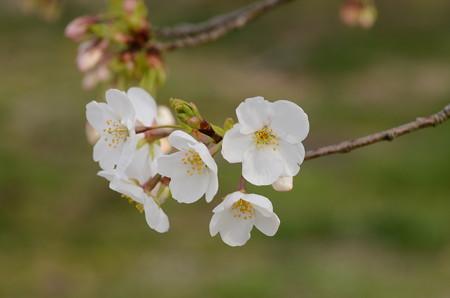 染井吉野×大島桜