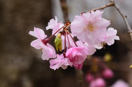 咲き始めた八重紅枝垂(ヤエベニシダレ)