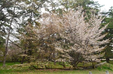 満開の桜松