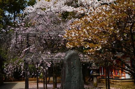 御香の宮の桜
