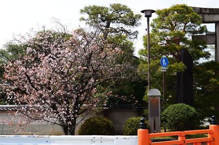 入り口脇の桜