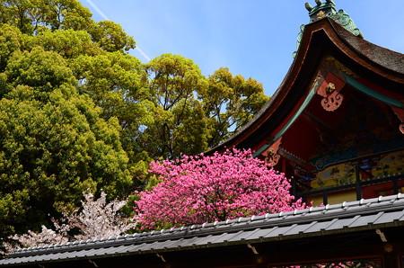 菊桃と桜咲く本殿