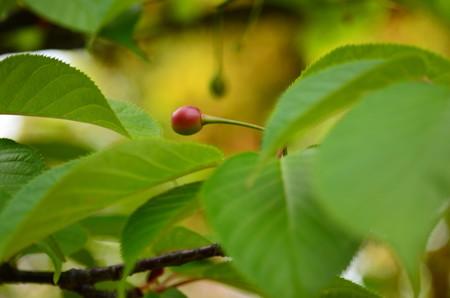 河津桜の  サクランボ