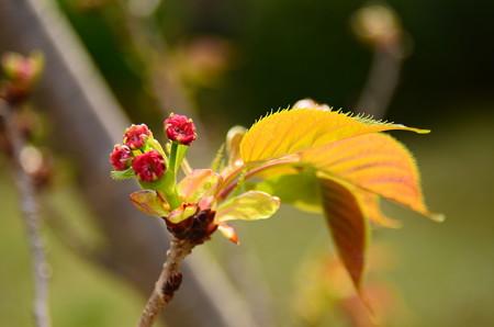 おおたザ  クラの子桜