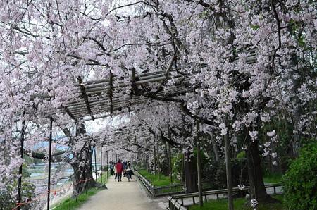 半木桜(ナカラギザクラ)