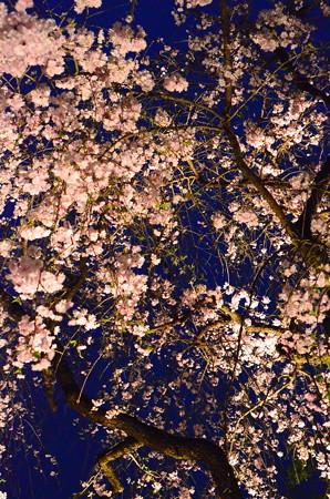 ライトアップされた八重枝垂れ桜