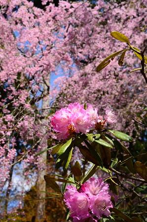 八重紅枝垂れの前に咲く石楠花