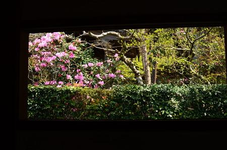 聚碧園の石楠花
