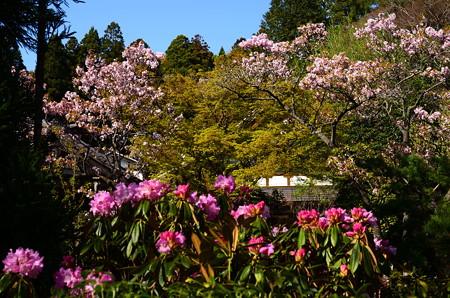 石楠花と桜の宝泉院