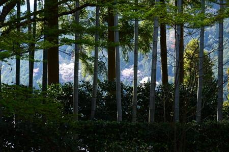 竹林の奥の山桜
