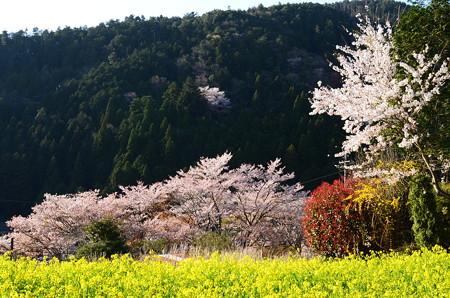 桜と菜の花の大原