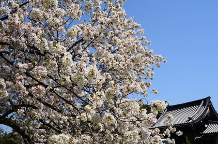 宜秋門と満開の桜