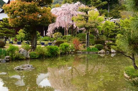 池越しの待賢門院桜