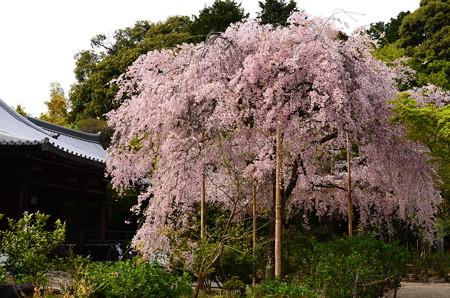 満開の待賢門院桜